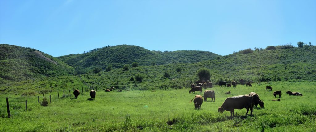 Cattle everywhere you look
